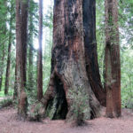 Henry Cowell Redwoods State Park hiking trails