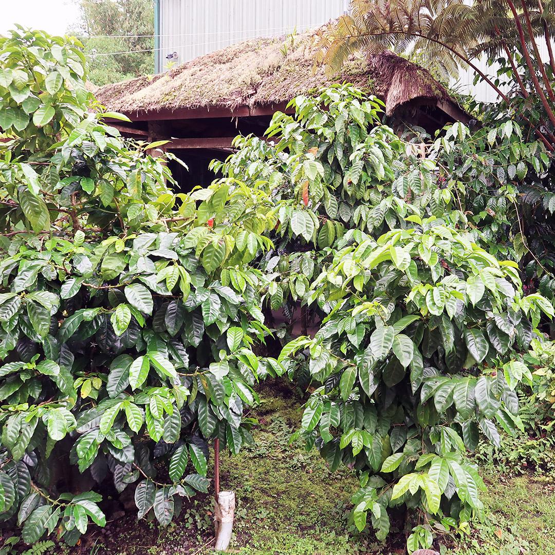 kona coffee farm tour