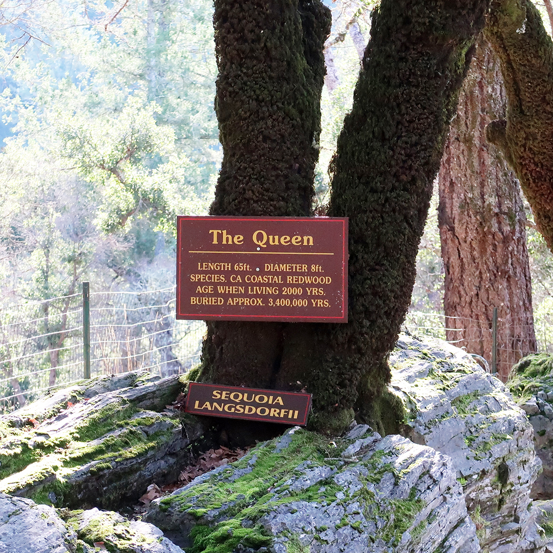 the queen petrified redwood tree